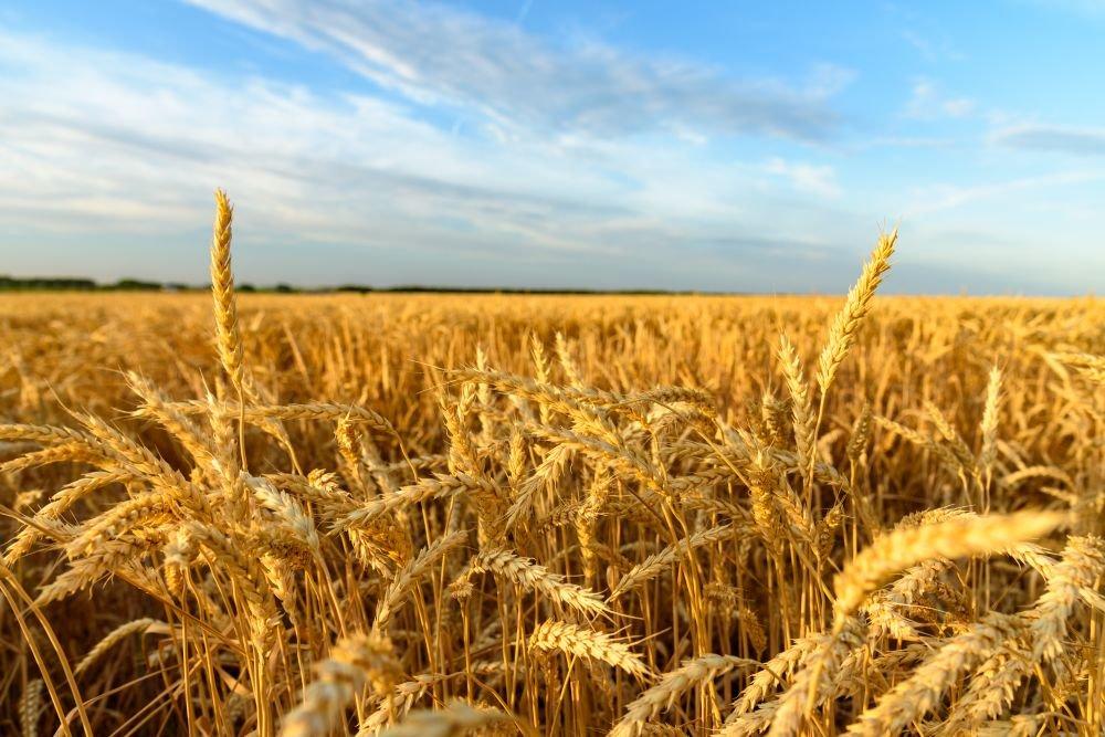 На фоне рекордных урожаев в Госрезерве Украины очень мало зерна