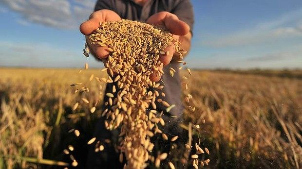 Украинские аграрии собрали более 45 млн тонн зерновых